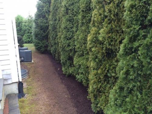 Arborvitae Screening